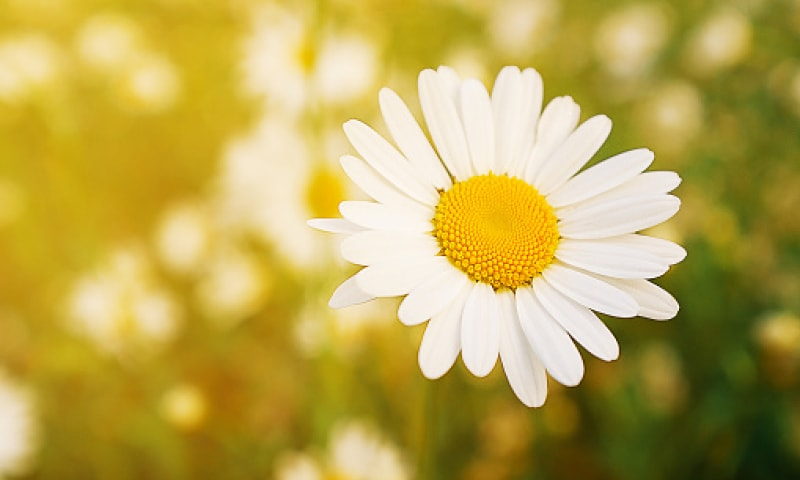 White daisy on a green background.
